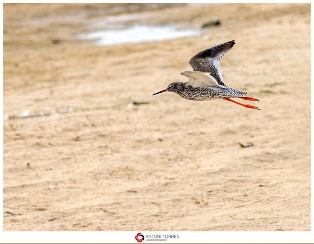 Gamba roja vulgar en vol