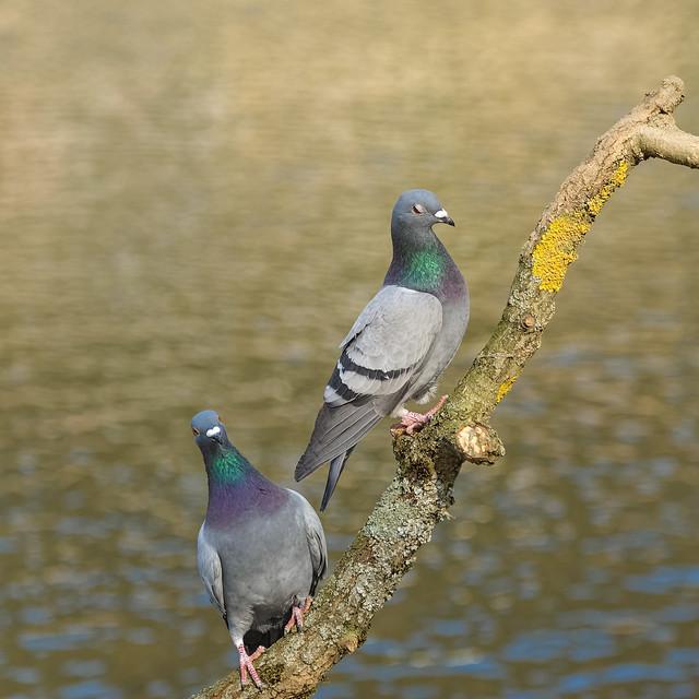 Pigeons biset
