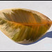 Leaf from a rubber plant (Ficus elastica tineke)