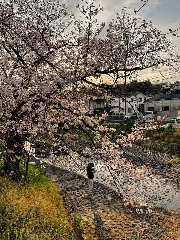 Sakura_20210327 (13)