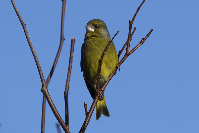 Greenfinch Louth