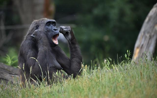 Westlicher Gorilla;