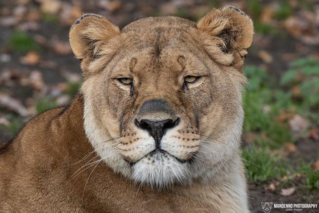African Lioness - Pakawi Park - Belgium