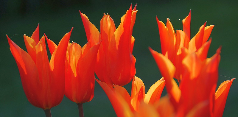 Sometimes Tulips Can Have a Fiery Temperament!