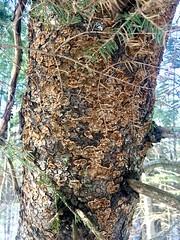Porodaedalea pini s.l / Polypore du pin
