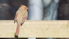 Cardinal rouge femelle - Northern Cardinal - Quu00e9bec, PQ, Canada - 2737