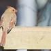 Cardinal rouge femelle - Northern Cardinal - Québec, PQ, Canada - 2737