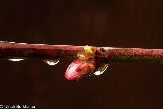 Peach bud in the rain.