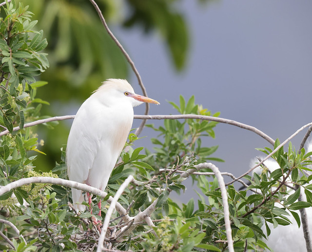 1DX31587 Must be viewed large. Cattle Egret. Kāʻanapali, Maui Hawaii.