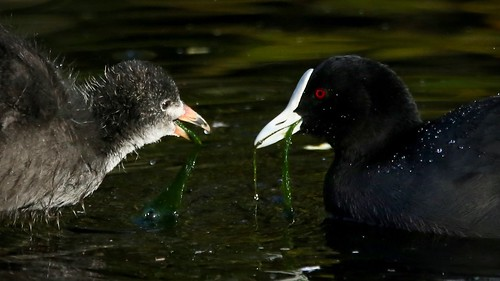 Coot Feeding