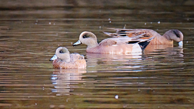 Wigeons at the inlet