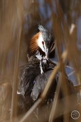 Grèbe huppé - Podiceps cristatus - Great Crested Grebe : IMG_0883_©_Michel_NOEL_2021_au_Lac_de_Creteil