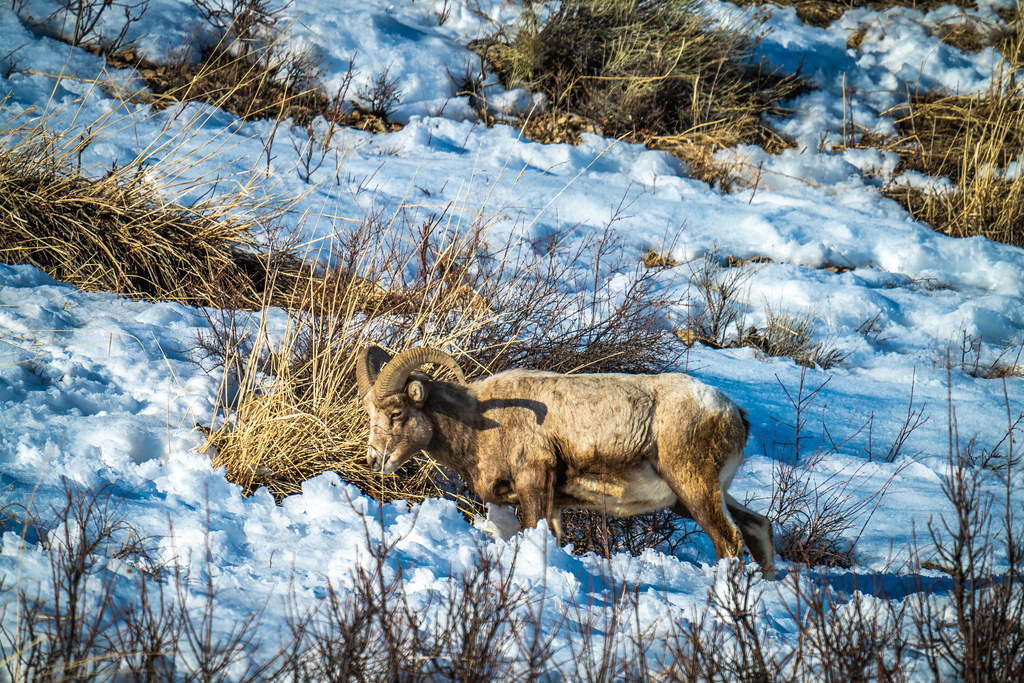 Big Horn Sheep Yellowstone National Park Winter Wildlife Sony A7R4 Montana Fine Art Landscape Nature Wildlife Photos! Elliot McGucken Fine Art American West Photography! Sony A7R 4 & Sony FE 200-600mm f/5.6-6.3 G OSS Lens 1.4x Teleconverter Lens SEL14TC