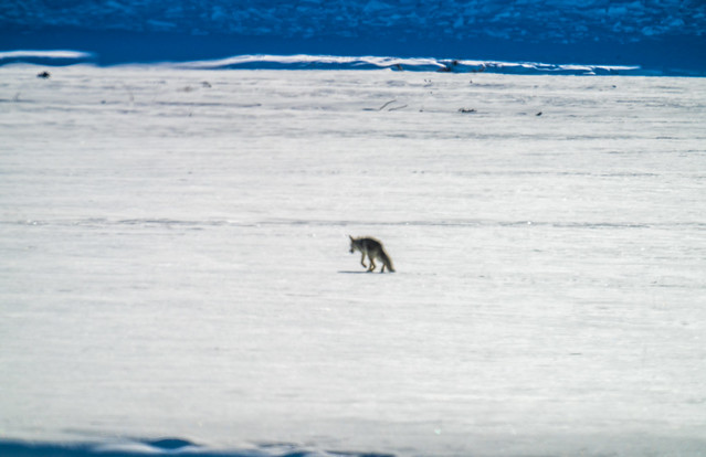 Lone Coyote! Yellowstone National Park Winter Wildlife Sony A7R4 Montana Fine Art Landscape Nature Wildlife Photography! Elliot McGucken Fine Art American West Photography! Sony A7R 4 & Sony FE 200-600mm f/5.6-6.3 G OSS Lens 1.4x Teleconverter Lens