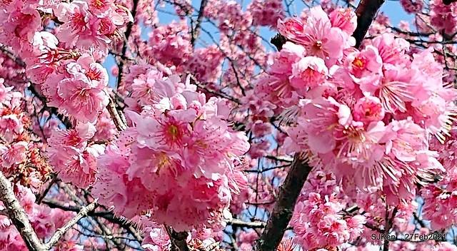 Wuling farm Cherry blossoms , Taichung, Middle Taiwan, SJKen, Feb 27, 2021.