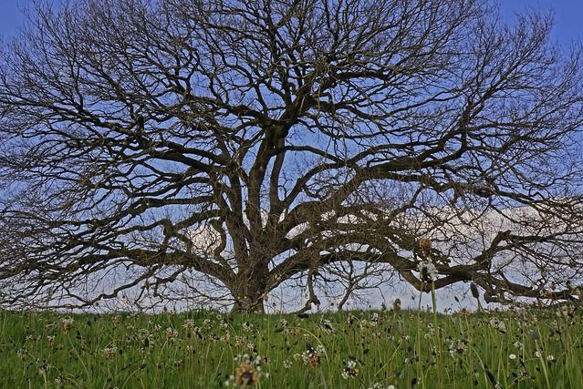 tombeboeuf oak 2