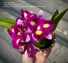 Cattlianthe Lo's Early Song (Cattleya Mari's Song u00d7 Cattlianthe Orglade's Early Harvest)