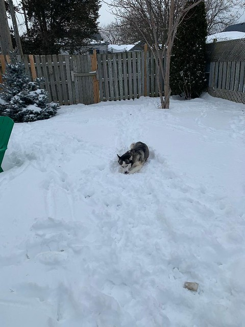 suki loves the snow and a bone