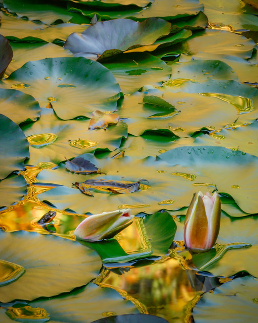 Fall Lily Pond with Newt