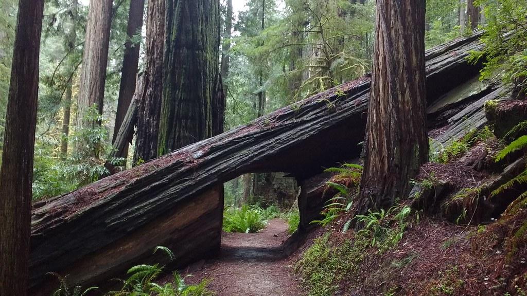 Prairie Creek Trail, Prairie Creek Redwoods State Park  02/09/2017