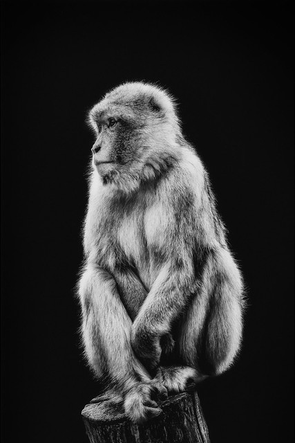 Barbary macaque Black&White Portrait (Explored Mar 6, 2021)