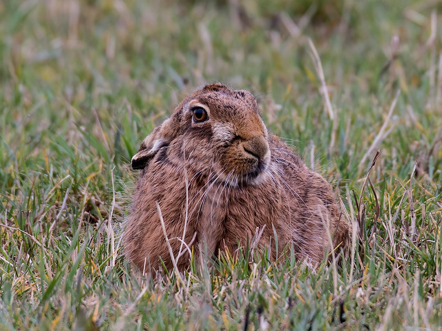 Female Brown Hare
