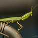 Praying Mantis (Orthodera ministralis)
