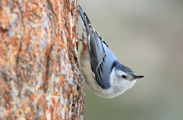 white-breasted nuthatch at Lake Meyer Park IA 653A7620