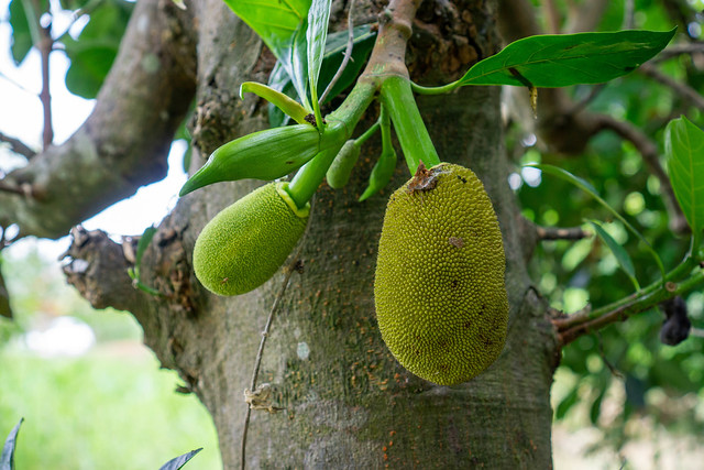 Close Up Photo of Young Jackfruits and Jackfruit Buds on a Jack Tree in the Mekong Delta, Vietnam