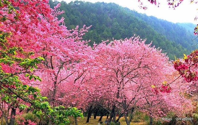 Wuling farm Cherry blossoms , Taichung, Middle Taiwan, SJKen, Feb 27, 2021.