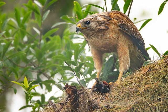 Red-shouldered Hawk with Painted Turtle
