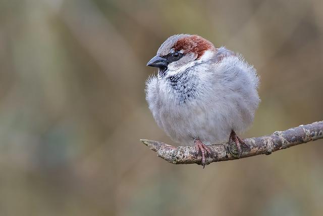 House Sparrow m