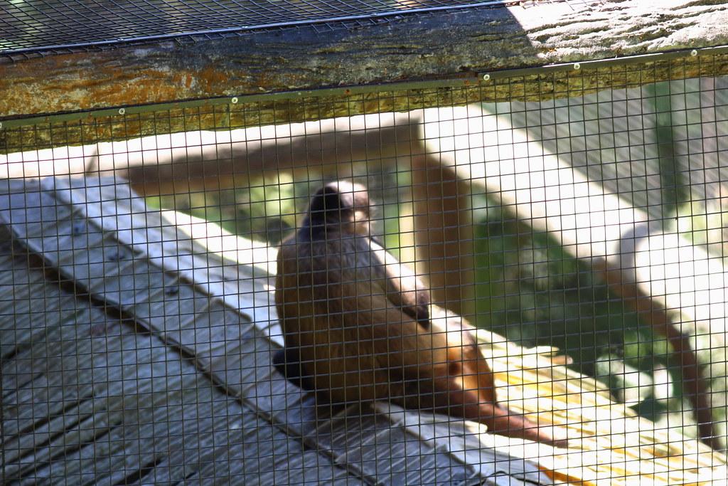 Saïmiri commun Saimiri sciureus Common squirrel monkey