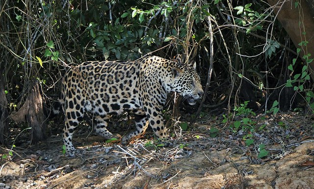 Marley The Jaguar Prowling Along The Riverbank Of The Cuiaba River (Panthera onca)