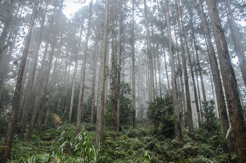 線浸林道杉木林