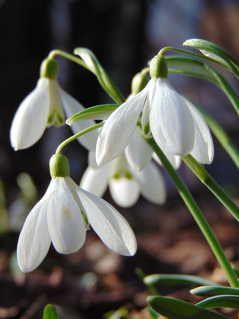 Snowdrops and crocuses:)