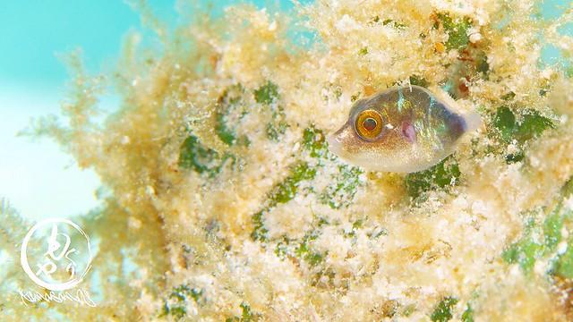キンチャクフグの幼魚
