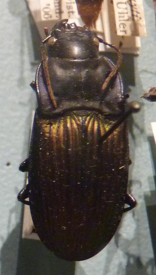 Dicaelus purpuratus 51008249451_b94367b890_o