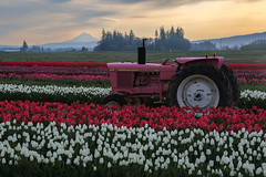 Pink Tractor & Tulips