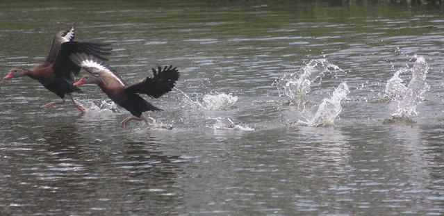 Duck #24: BLACK-BELLIED WHISTLING DUCK