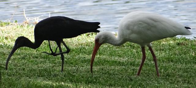 Ibis #26: GLOSSY & WHITE