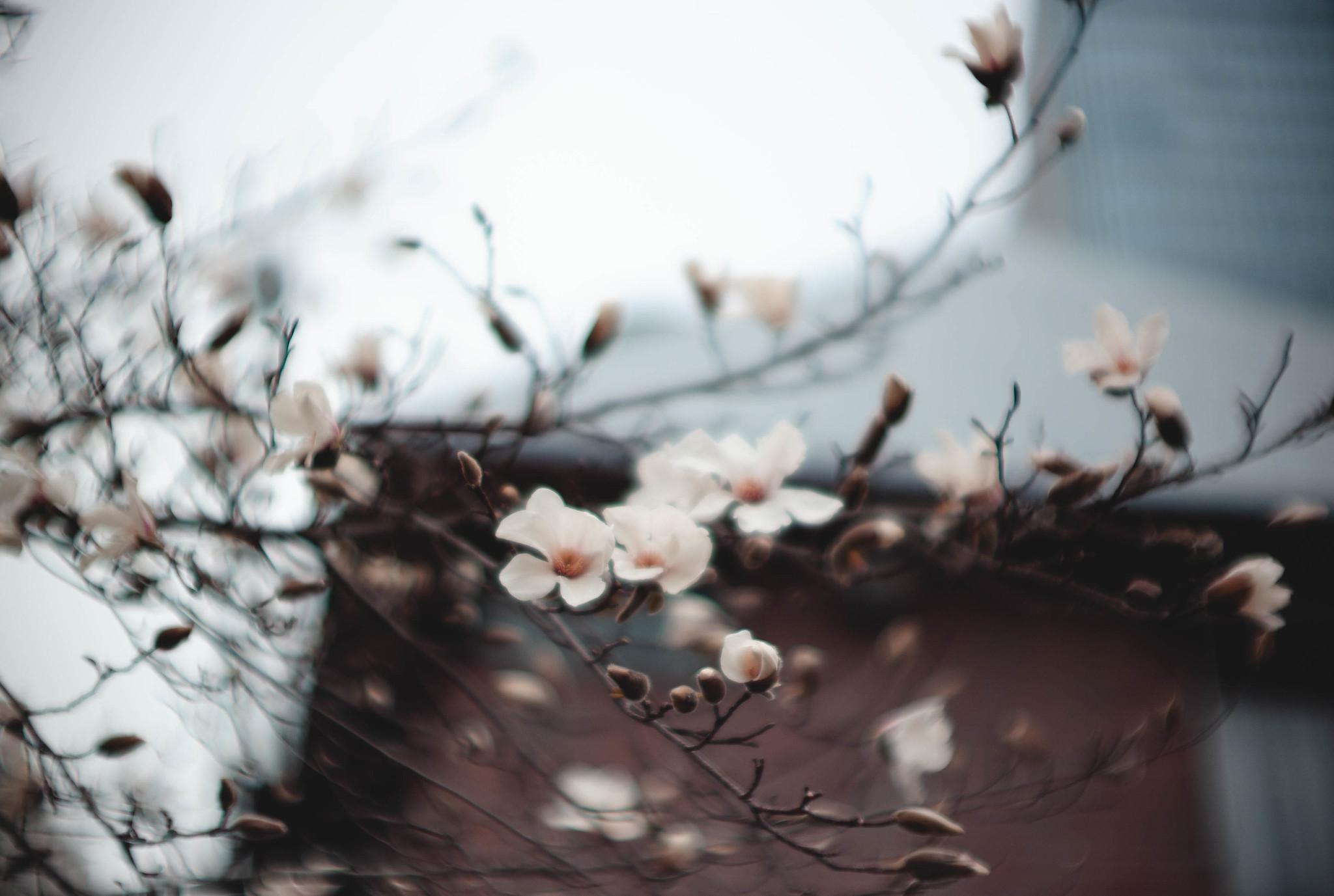 lily magnolia
