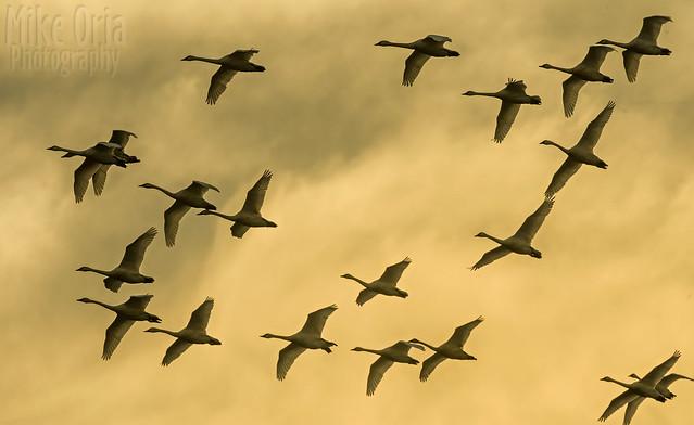 Swan Swan H