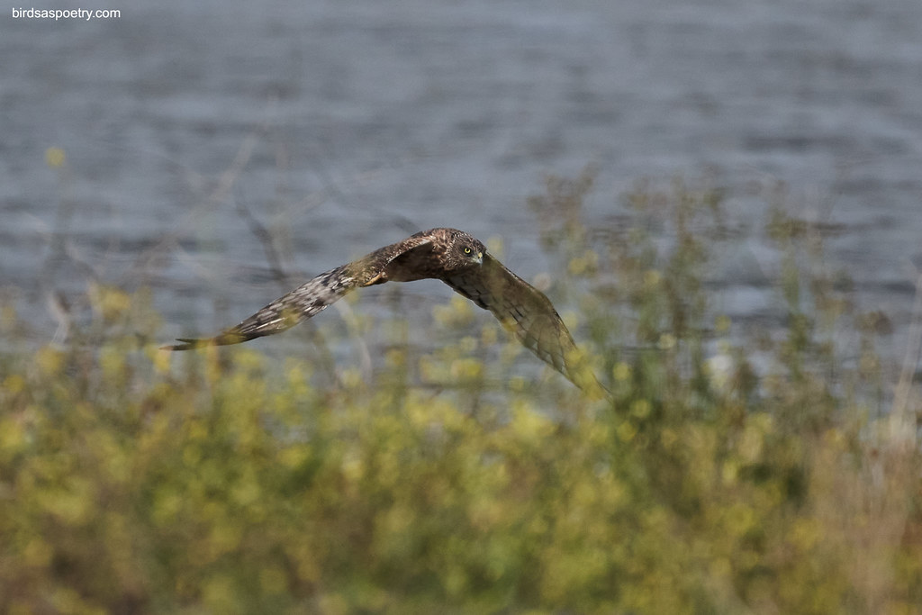 Swamp Harrier: Out of the  Grasses