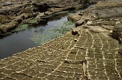 Irrigated onions, pays Dogon, Mali