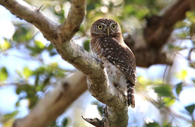 Cuban Pygmy Owl / Chevêchette de Cuba ( Richard )