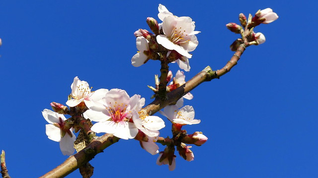 Frühe Mandelblüten - Early Almond Blossoms