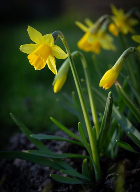 365-61 Daffodils