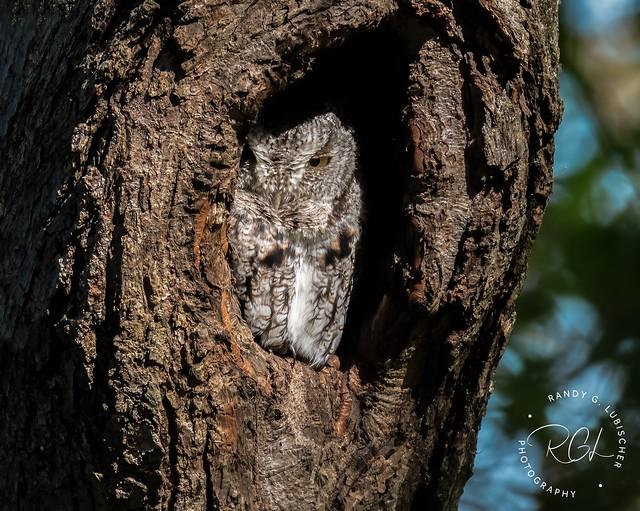 Eastern Screech Owl (Gray Morph) - Megascops asio | 2020 - 5