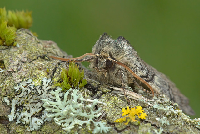 65.016 Yellow Horned (Achlya flavicornis), Moss Morran, Fife